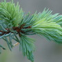 New growth on my baby Blue Spruce (Picea pungens (Colorado Blue Spruce))