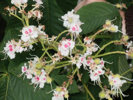 horse chestnut flower (Aesculus hippocastanum)