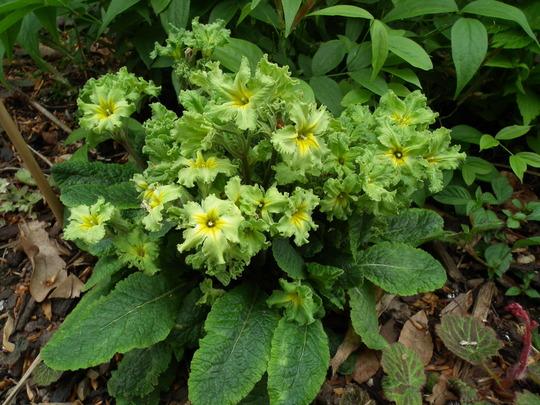 Primula green lace (Primula green lace)