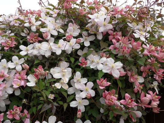 clematis 39 montana rubens 39 and 39 broughton star 39 grows on you. Black Bedroom Furniture Sets. Home Design Ideas