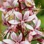 Dictamnus albus (Dictamnus albus (Bai xian pi))