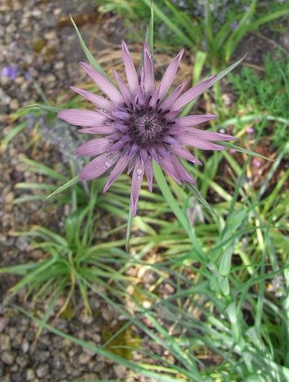 Tragopogon porrifolius - 2011 (Tragopogon porrifolius)