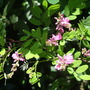 Indigofera &#x27;Silk Road&#x27;  (Indigofera himalayensis)