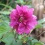 Rubus spectabilis 'Olympic Double' (Rubus spectabile)
