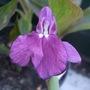 Roscoea auriculata (Roscoea auriculata)