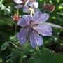 Geranium renardii 'Zetterland' (Geranium renardii)