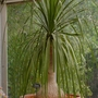 Nolina gracilis (Nolina gracilis)