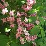 Weigela 'Vesicolour' (Old fashioned Weigelia) (Weigela florida 'Versicolor')