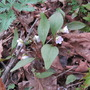 May Flowers (Claytonia)