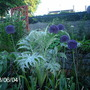 Alliums (Allium hollandicum (Ornamental onion))