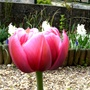 Tulip in my front gardem