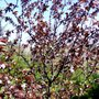 April blossom  (Prunus spinosa Purpurea)