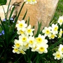 Favourite Narcissi (Narcissus Botanical Minnow)