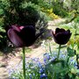 Dark tulips (Tulipa cottage Queen of thw night)