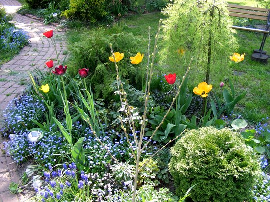More April tulips