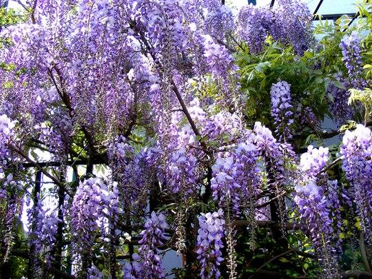 May is Wisteria time (Wisteria floribunda (Japanese Wisteria))