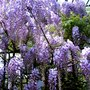 May is Wisteria time (Wisteria floribunda (Japanese Wisteria))
