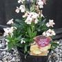 Erysimum cheiri 'Sunset Apricot'  (Wallflower)   Perennial (Erysimum cheiri 'Sunset Apricot')