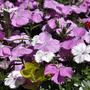 In my friend's garden (dianthus)