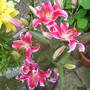 lucys lily