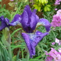 Iris sibirica 'Ever Again'