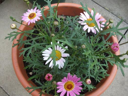 Argyranthemum pink (Argyranthemum frutescens)