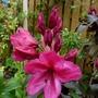 Rhododendron 'Ebony Pearl'