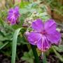 Geranium macrorrhizum 'Bevan's Variety' (Geranium macrorrhizum (Cranesbill))