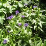 Centaurea_montana2