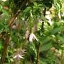 Fuchsia_magellanica_alba2