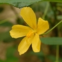 Pavonia spinifex (Pavonia spinifex)