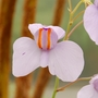 Utricularia reniformis (Utricularia reniformis)