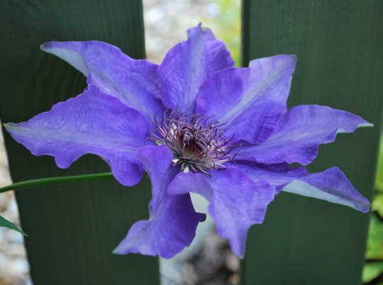 Another Blue Clematis. (Clematis Rhapsody)