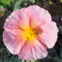 Helianthemum &#x27;Wisley Pink&#x27; (Helianthemum &#x27;Wisley Pink&#x27;)