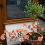salix flamingo, orange azalea