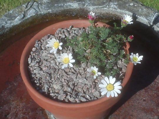 Anacyclus pyrethrum var.depressus (Anacyclus pyrethrum var.depressus)