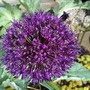 Allium_hollandicum_purple_sensation