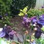 Aquilega_purple_emperor