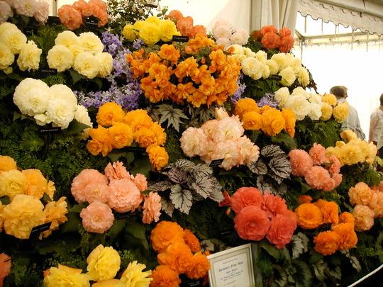 Shrewsbury flower show (Begonia)