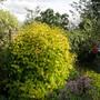Philadelphus aurea flowering