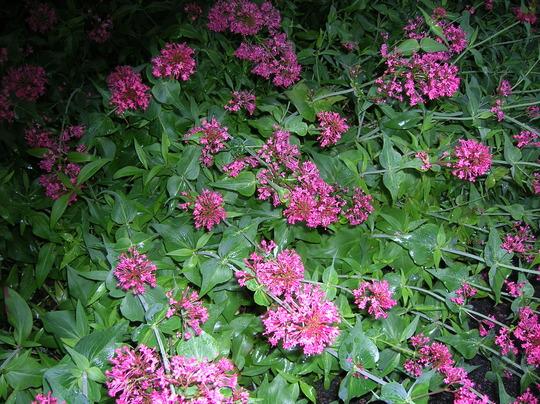 Centranthus ruber ( red valerian )