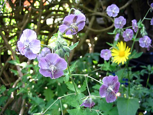 Geranium phaeum 'Rise Top Lilac' (Geranium phaeum 'Rise Top Lilac')