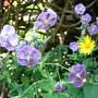 Geranium phaeum &#x27;Rise Top Lilac&#x27; (Geranium phaeum &#x27;Rise Top Lilac&#x27;)