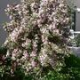 Weigela 'Florida Variegata' in full bloom May 2011