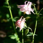 Aquilegia vulgaris pink (Colombine)