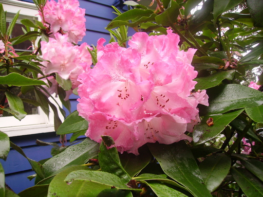 rhododendron strawberry sundae again (rhododendron)