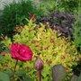 Spirea & Red Roses