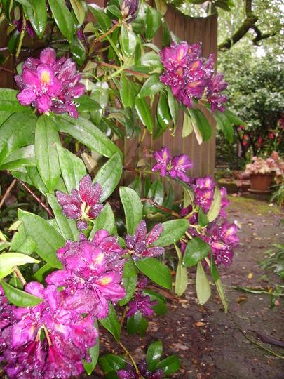 dark purple rhodie again (rhododendron)