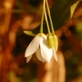 White Bluebell Creeper (Sollya heterophylla (Bluebell Creeper))