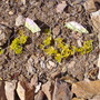 Lysimachia_nummularia_aurea_growing_under_wire_dome